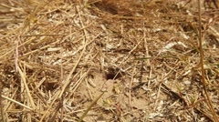 Wasp Digger Come Across the Ground Input Covered With Dry Grass - stock footage