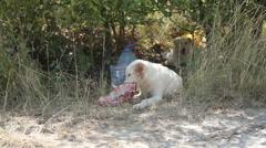 White dog eating a bone Stock Footage