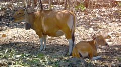 Mother Cow and Calf on Balinese Farm in Indonesia. UHD video Stock Footage