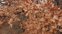 Dry oak leaves in the crown - stock footage