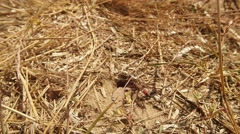 Wasps go Through Earthen Input Covered With Dry Grass - stock footage