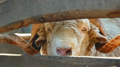 Close up of sheep heads. Farming. Herd of sheep on sunny day Stock Footage