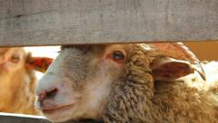 Close up of sheep heads. Farming. Herd of sheep. Stock Footage