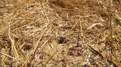 Wasps go Across the Earthen Input Covered With Dry Grass Stock Footage