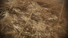 Earthen Wasp Moves the Dry Grass Near Their Accommodation Stock Footage