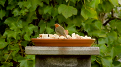 European robin, red little bird eating in garden Stock Footage