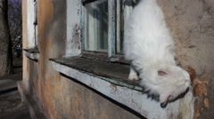 White Stray Cat Walking on the Windowsill in the House Stock Footage