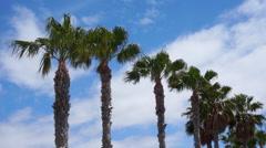 Palmtrees Swaying in ocean breeze Stock Footage