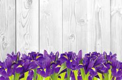 Blueflag or iris flower on white wooden background - stock photo