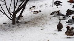 Barnacle goose (Branta leucopsis) Stock Footage