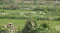 Grass flowers on the soil pile in paddy field Stock Footage