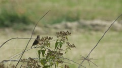 Stonechat bird resting behind weed flowers Stock Footage