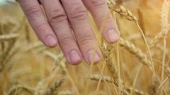 Businessman walking through a golden wheat field touching an ear of ripening Stock Footage