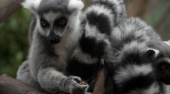 Conspiracy of Lemurs on a tree branch - stock footage
