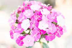 Chinese Pink(Dianthus chinensis Linn.) - stock photo