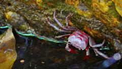 Tiny Waterfall Crab Clinging to a Mossy Rock. FullHD video Stock Footage
