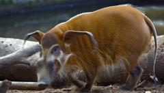Red River Hog Trots Away at the Zoo. Video 1920x1080 - stock footage