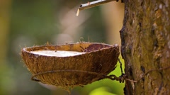 Rubber Tree Tapped to Collect Latex Sap in Southeast Asia. FullHD video - stock footage