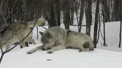 Timber wolves in a winter setting Stock Footage