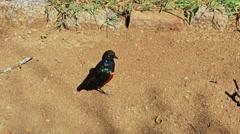 Abstract African bird on sand. Tanzania. Serengeti. - stock footage