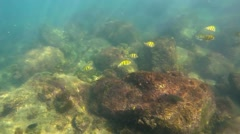 Small School of Yellow Tropical Fish in Natural Habitat. FullHD video Stock Footage