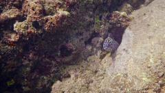 Honeycomb Moray Eel Peeking from a Hole in a Rock. FullHD video Stock Footage