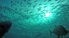 Huge schools of fusiliers and mackerels in the light-flooded ocean - stock footage