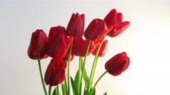 Timelapse of red tulip flower bouquet blooming on white background in 4K Stock Footage