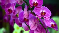 Violet orchid branch dangles on the wind Stock Footage