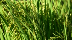 Rice field background at sunny day Stock Footage