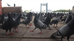 Group of pigeons Stock Footage