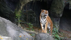 Sumatarn Tiger, zoo - Chonbiri, Thailand Stock Footage