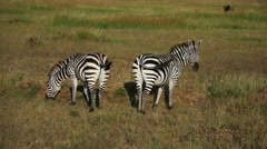 Two Zebras pasturing in savanna. Static camera view. Africa. Kenya. Masai Mara. - stock footage