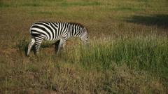 Zebra pasturing in savanna. Static camera view. Africa. Kenya. Masai Mara. Stock Footage