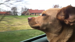 Happy dog hanging head out window while driving in car 4k - stock footage