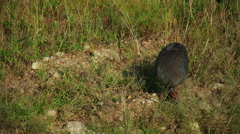 Guineafowl eating food from ground. Kenya. Masai Mara. Static camera - stock footage