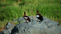 Two wild ducks standing on stone in savanna static camera. Tanzania. Africa. - stock footage