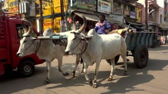 The cows carries a cart on the street. Slow-motion tilt shot. Stock Footage