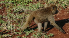 Olive baboon walking on ground target camera. Serengeti Ngorongoro. Tanzania. Stock Footage