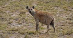 Watchful Hyena - stock footage