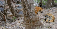 Two Bengal Tigers walking in the forest Stock Footage