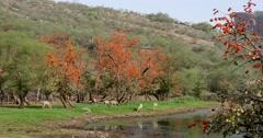 Indian Sambar Deer at waterhole Stock Footage