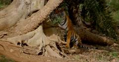Bengal Tiger stalks approaching deer Stock Footage