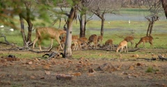 Indian Sambar Deer and Spotted Deer Stock Footage