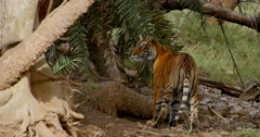Bengal Tiger resting Stock Footage
