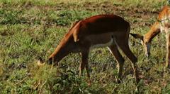 Antelope eating from ground savanna Masai Mara static camera. Kenya. Africa. Stock Footage