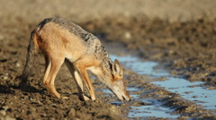 Black-backed jackal drinking, wildlife safari, Kalahari, South Africa Stock Footage