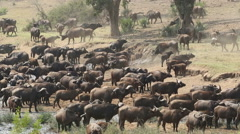 African buffalo herd, wildlife, Kruger National Park, South Africa - stock footage