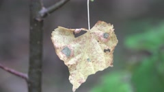 Dry yellow leaf hangs on spider web macro Stock Footage