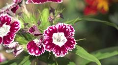 Red flower in garden, macro, field, 4k Stock Footage
